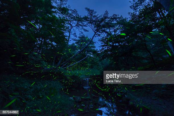 the graceful lights of the fireflies in japan. - グローワーム ストックフォトと画像