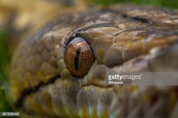 the granite burmese pythons - yellow burmese python stock pictures, royalty-free photos & images