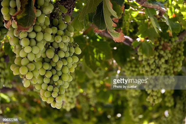 The grape season
