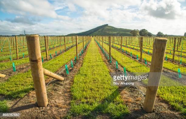 the grapes vineyard planting in hawke's bay region of new zealand. - ホークスベイ地域 ストックフォトと画像