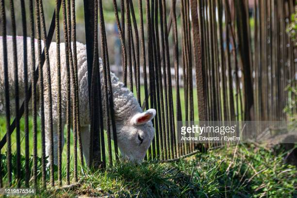 the grass is greener as a lambs squeezes through railings to eat plants - luton stock pictures, royalty-free photos & images
