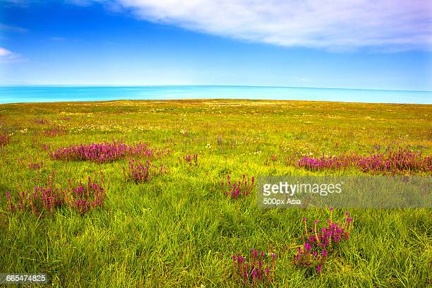 the grassland near qinghai lake - qinghai province stock photos and pictures