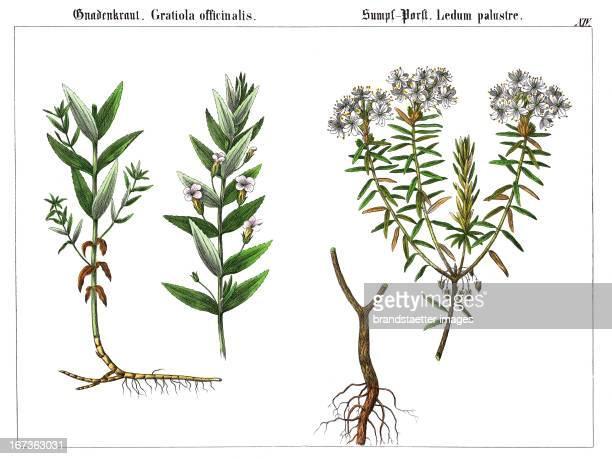 The Gratiole or Common Hedgehyssop and the Labrador Tea Lithography From Die Giftgewaechse Deutschlands und der Schweiz Verlag J F Schreiber...