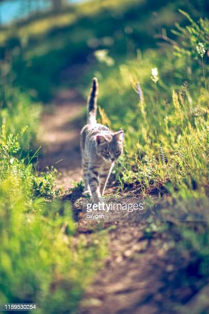 the gray stripped cat is walking down the path down the mountain - 雰囲気 ストックフォトと画像