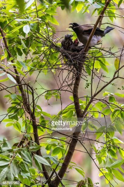 the gray treepie bird - provinz yunnan stock-fotos und bilder
