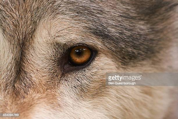 The gray wolf or grey wolf (Canis lupus)