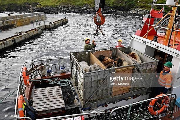 The Grear family ponies are loaded onto the New Advance ferry on the Island of Foula where they will be taken to Shetland to be sold at market on...