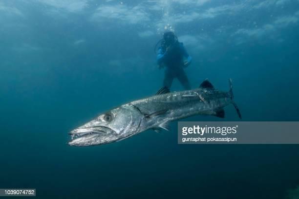 the great baraccuda - barracuda foto e immagini stock