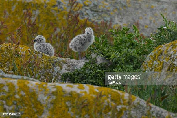 The great black-backed gull chicks seen during the breeding season on the Great Saltee Island. The Saltee Islands are made up of two uninhabited...