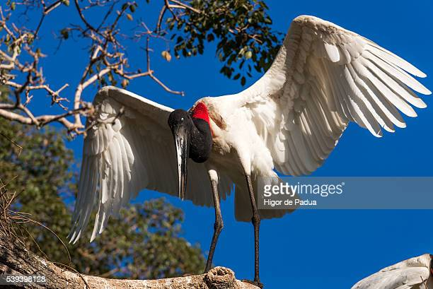 the great jabiru stork, a beautiful and giant bird - animal selvagem stock pictures, royalty-free photos & images