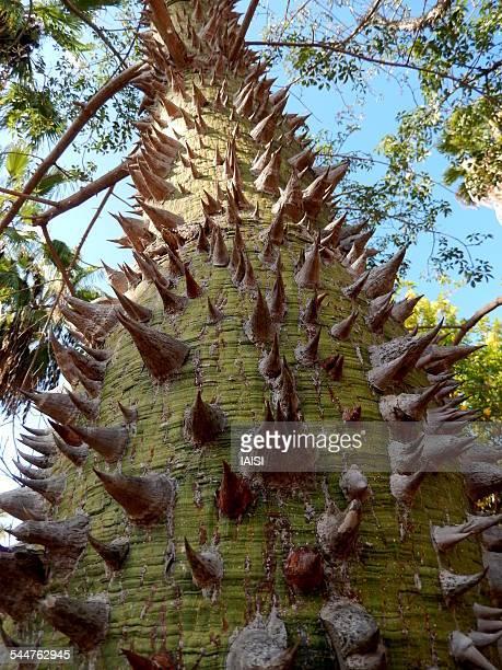 the great kapok tree - espinho característica da planta - fotografias e filmes do acervo