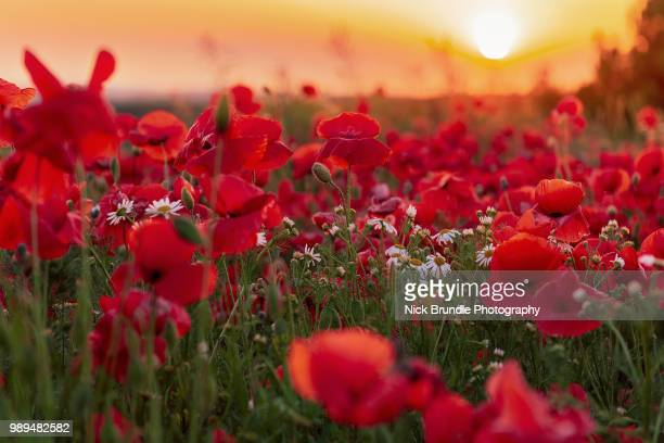 the great outdoors - oriental poppy stock pictures, royalty-free photos & images
