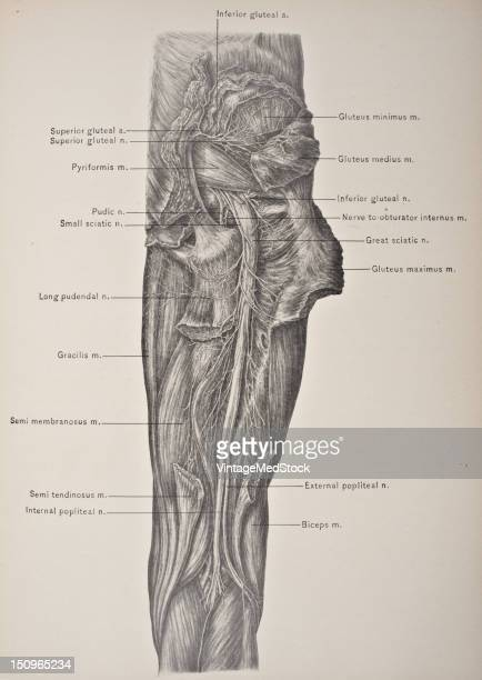 Sciatic Nerve Stock Photos and Pictures | Getty Images