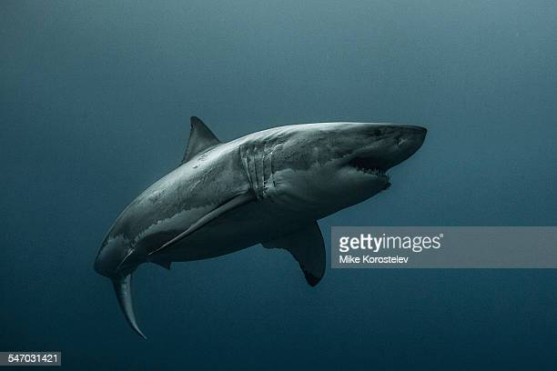 the great white shark - great white shark stock photos and pictures