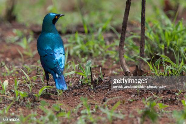 The greater blue-eared starling or greater blue-eared glossy-starling (Lamprotornis chalybaeus).