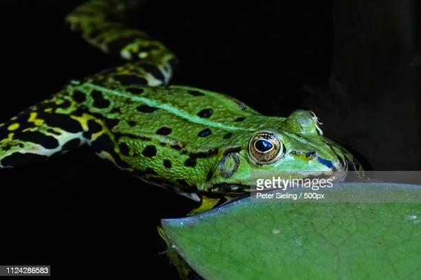 the green frog - umwelt stockfoto's en -beelden