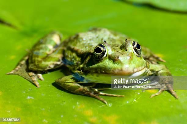 the green frog - grenouille photos et images de collection