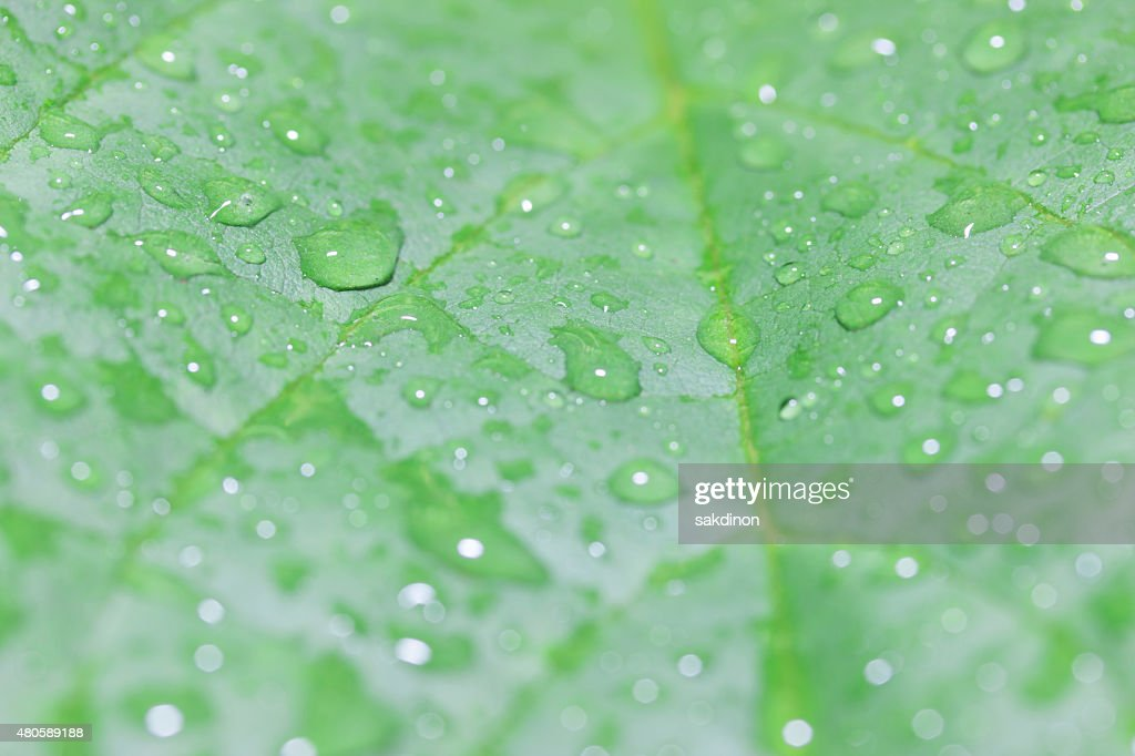 The green leaves of water droplets : Stock Photo