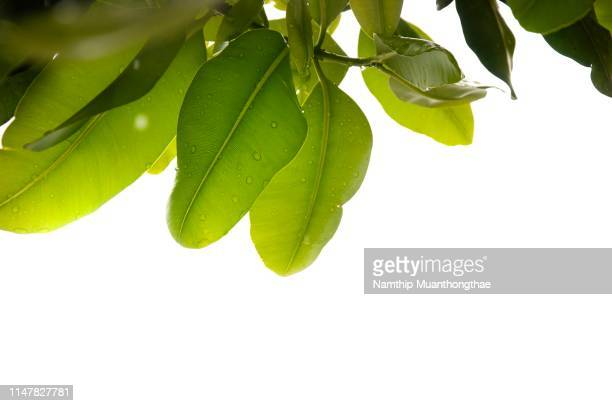 the green leaves with the white background and large space - palm branch stock pictures, royalty-free photos & images
