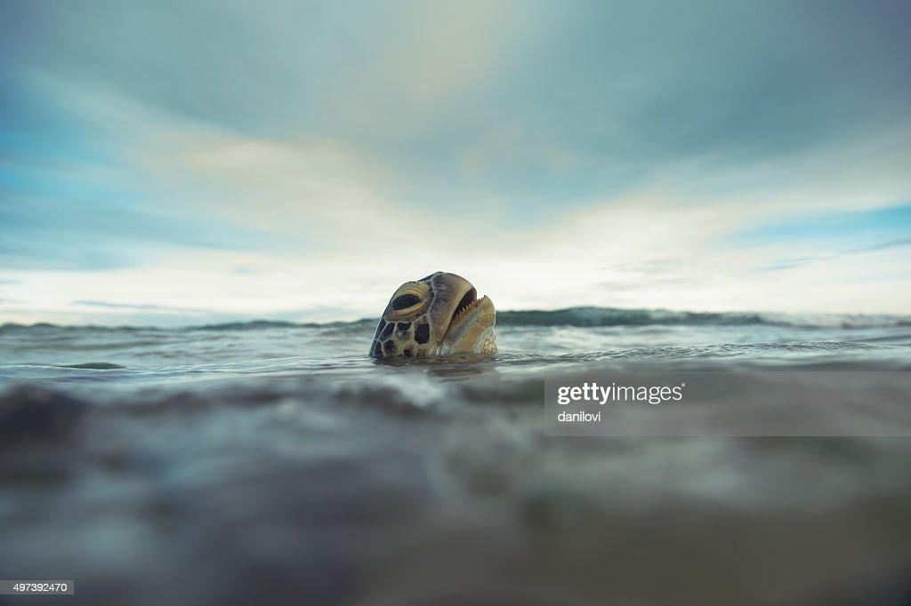 The green sea turtle (Chelonia mydas), Hikkaduwa. : Stock Photo