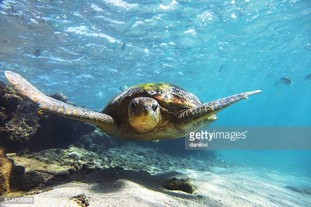 the green sea turtle (chelonia mydas), hikkaduwa. - animals in the wild stock pictures, royalty-free photos & images