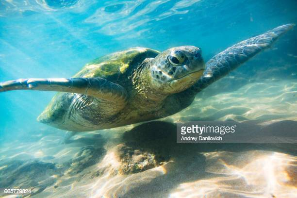 the green sea turtle - one animal stock pictures, royalty-free photos & images