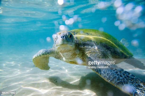 the green sea turtle - green turtle stock pictures, royalty-free photos & images