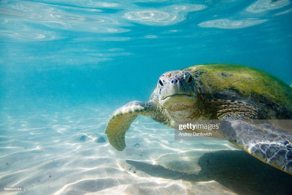 The green sea turtle : Stock Photo