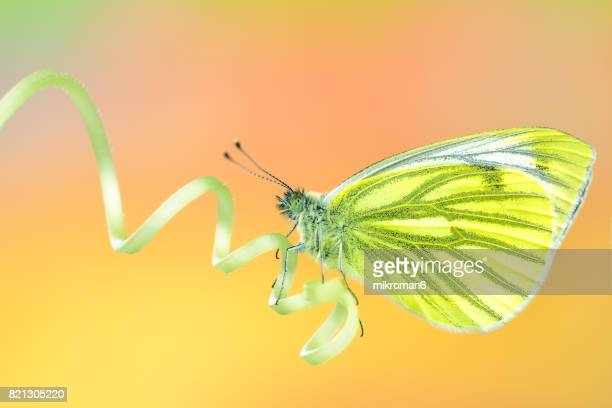 The green-veined white (Pieris napi) butterfly