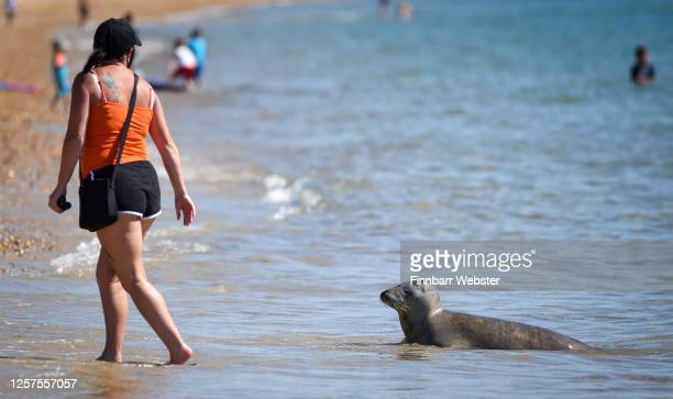 The Grey seal named Sammy is seen with a tourist on the beach on July 22 2020 in Weymouth United Kingdom