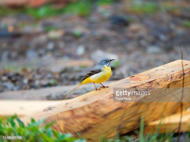 the grey wagtail is yellow color bird perched on wood - セキレイ ストックフォトと画像