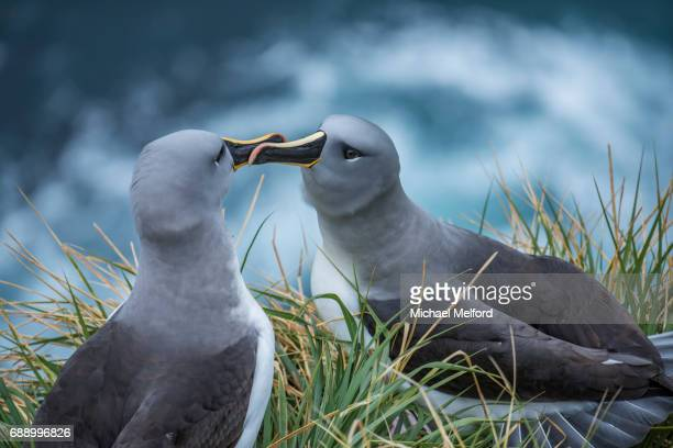 The grey-headed albatross (Thalassarche chrysostoma) also known as the grey-headed mollymawk with a wingspan of up to 7 feet on   South Georgia Island where 48,000 pairs nest.