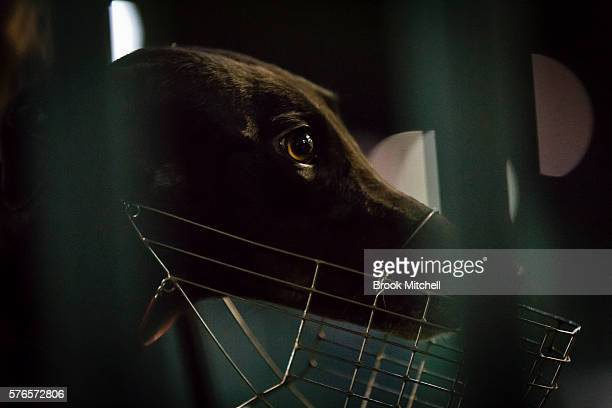 The Greyhound Magic Lace at Wentworth Park on July 16 in Sydney Australia Greyhound Racing in NSW has now resumed after a week suspension NSW Premier...