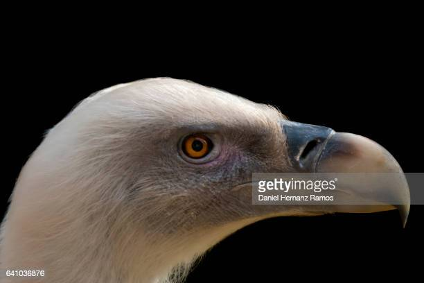 The griffon vulture close up head detail side view with black background