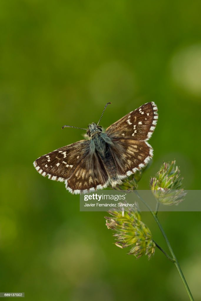 The grizzled skipper butterfly (Pyrgus malvae) perched on a grassland in a mountain meadow. : Stock Photo