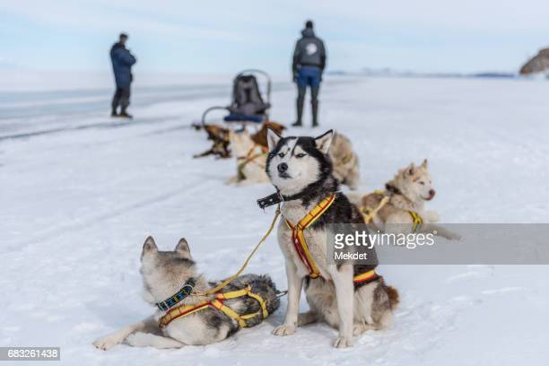 The group of Siberian Husky dogsledding on frozen Baikal lake, Siberia, Russia