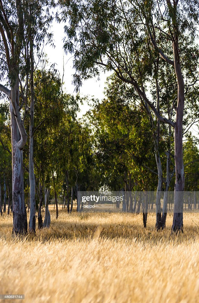 the growing big trees : Stock Photo