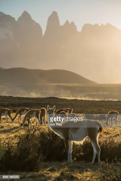 The Guanaco Lama guanicoe is a camelid native to the mountainous regions of South America They are found in the altiplano of Peru Bolivia and Chile...