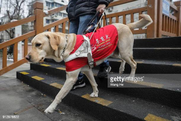 The guide dog Leinuo leads its master Zongwenhao Walk street on January 26 2018 in Shanghai ChinaFebruary 16th 2018 is the Chinese lunar year of the...