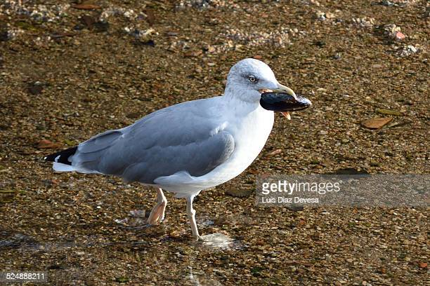 the gull takes a mussel in the beak - cozza zebrata foto e immagini stock