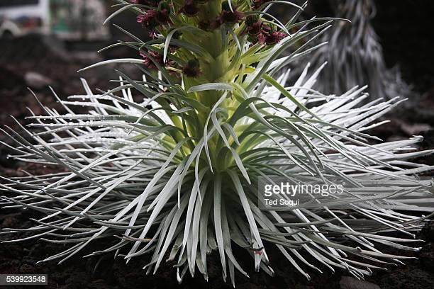 The Haleakala Silversword Argyroxiphium sandwicense subspecies macrocephalum growing on Mt Haleakala at the 60009000 foot level This is the only...