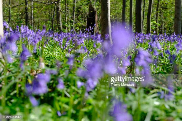 The Hallerbos particularly known for its flowers bed of wild hyacinths which usually bloom in late April or early May. Common bluebell are 20 to 40...