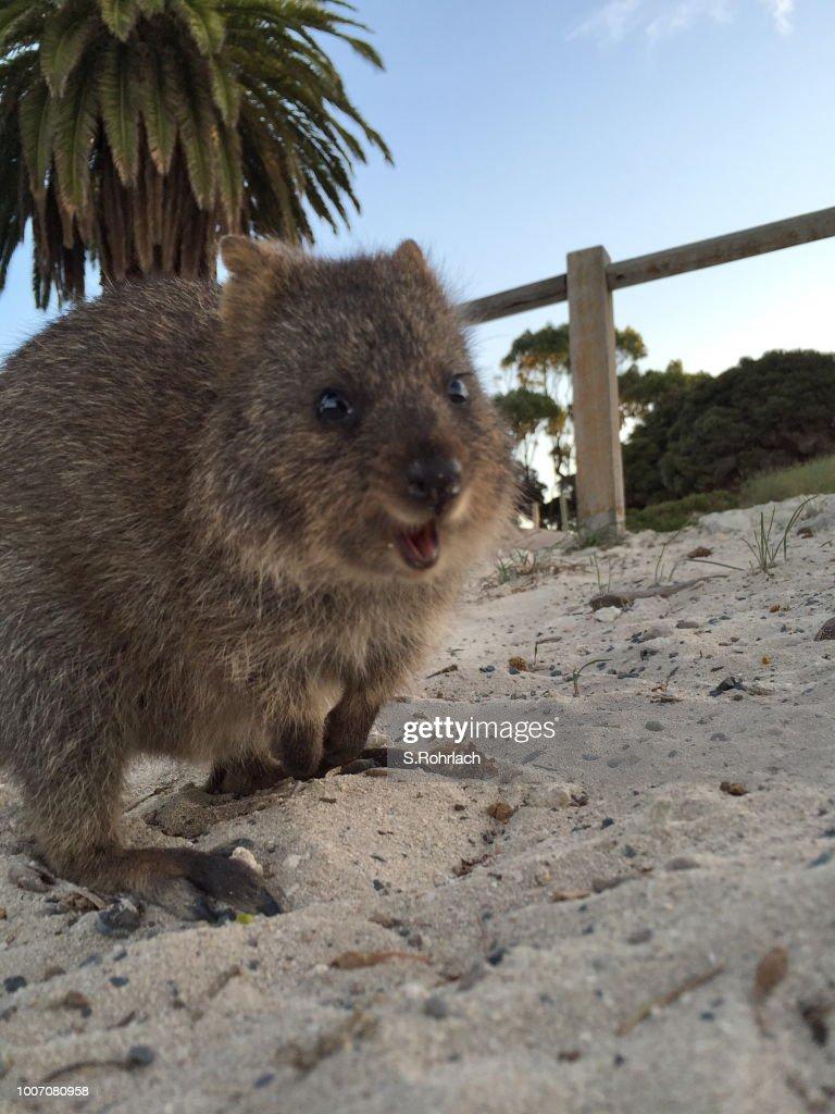 The happiest animal on earth-Quokka-Setonix Brachyurus on Rottnest Island, Western Australia : Stock Photo