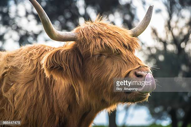 The happy highland cow.