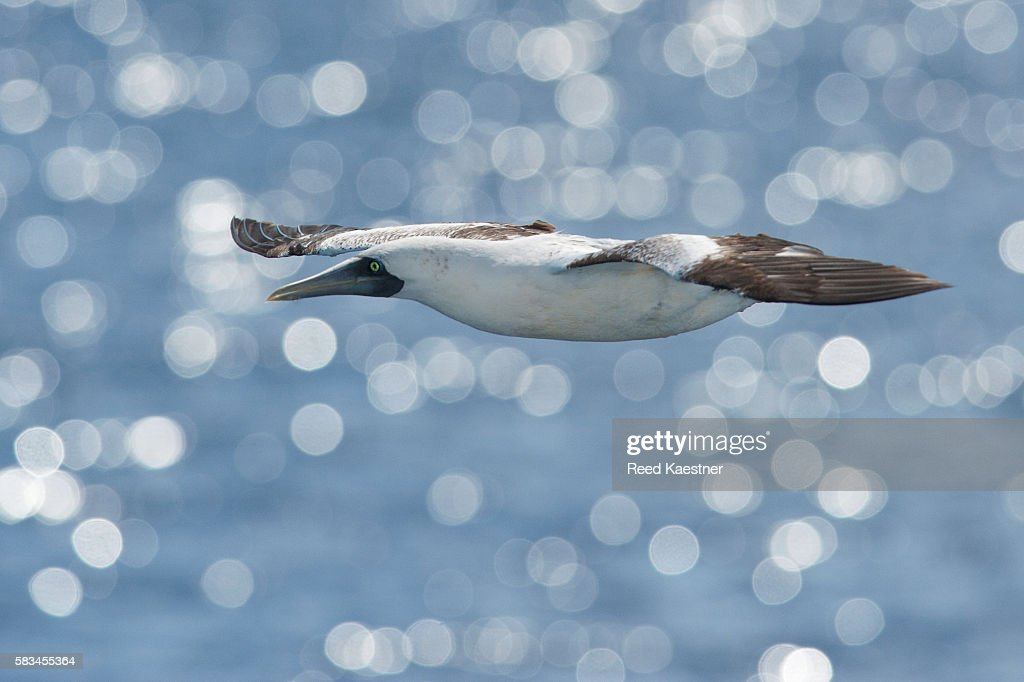 The hard to see Masked Booby (Sula dactylatra) glides past a cruise ship in the central Caribbean sea. : Stock Photo