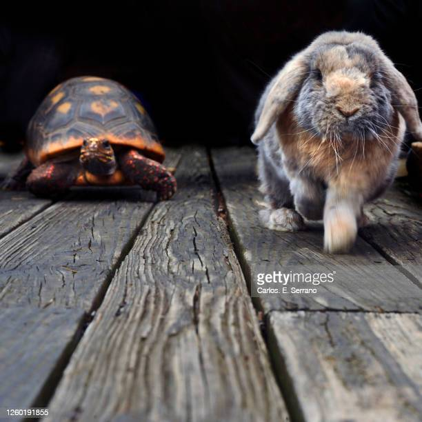 the hare and the tortoise - westchester county stock pictures, royalty-free photos & images