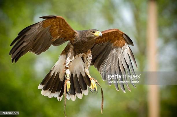 The Harris's hawk