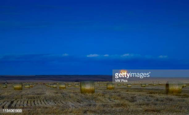The Harvest Moon of September 24 2018 in thin clouds and above a field of hay bales in southern Alberta The rows of bales run eastwest and due east...