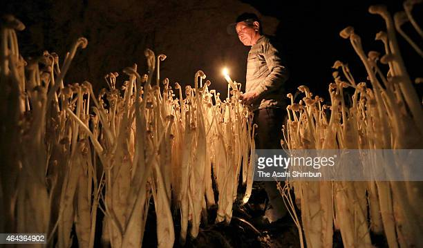 The harvest season has started for Japanese spikenard a vegetable known as 'udo' on February 21 2015 in Tachikawa Tokyo Japan In a cellar at the...