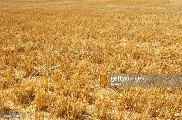 The harvested wheat field